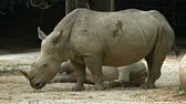 white lipped : Mature and enormous white rhinoceros stands lazily in his habitat enclosure at a popular public zoo.