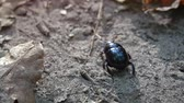 scrambling : Tiny scarab animal. with its characteristic black color and armored shell. scrambling quickly over sand and dried leaves. Stock Footage