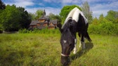 kikötve : Tethered horse grazes in a pasture. with an old fashioned. wooden church in the background. in Ukraine. Eastern Europe.
