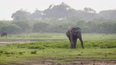 elephas maximus : Solitary. female specimen of Asian elephant in the wild. ploding along through a national park in Sri Lanka. UltraHD stock footage