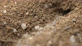 scrambling : Dozens of tiny ants scrambling over rough sand grains to alternately exit and enter their subterranean burrow. UltraHD 4k video