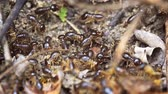 scrambling : Swarm of tiny termites in extreeme closeup. scrabbling over rough terrain and foraging on the forest floor in Thailand. UltraHD 4k footage Stock Footage