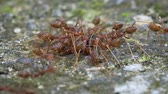 honeydew : Weaver ants (Oecophylla) are busy with their daily affairs. FullHD 1080p footage