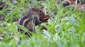 nibbling : Adorable. Sri Lankan chipmunk. making a snack of a fallen seed pod. Video 1920x1080 Stock Footage