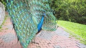 pavo cristatus : Mature peacock struts in slow circles with his dramatic. iridescent plumage on display at a popular bird park. UltraHD 4k footage