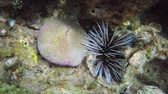 ouriço : Sea urchin and mushroom coral. side by side in the shallow water off Koh Lipe. a tropical island paradise in Thailand. Video 1920x1080