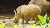 white lipped : Young. white rhino. grazing on hay alongside her parents. in her habitat enclosure at a popular. public zoo. 4k Ultra HD video