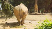 white lipped : Rear perspective of a mature. white rhinoceros. in its habitat enclosure at a public zoo. 4k video