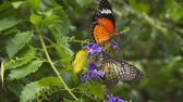 cyan : Leopard Lacewing butterflies feed on flowers close up. Video 4k