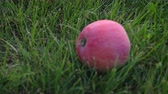 contrastes : Apple fallen from the apple tree to the lawn. 6k resolution video