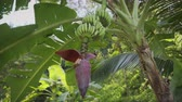 amplo : Wild banana flower with fruits in the tropical forest. Thailand. 6k video