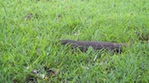 varanus : Adult varan (monitor lizard) hunts in the grass. Sri Lanka. Video 4k