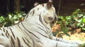 среда обитания : Solitary white tiger in closeup. laying in the shade and panting. in its habitat. UltraHD 4k footage