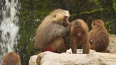 biodiverzitás : A resting family of baboons. Stock footage in 4k resolution with natural sound Stock mozgókép