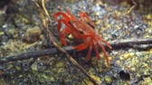 krab : Perisesarma - red freshwater crab preys on small animals. Thailand. Phuket. Video FullHD 1080p