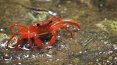 biodiverzitás : Perisesarma - red freshwater crab in the forest puddle. Thailand. Phuket. Video FullHD 1080p with natural sound Stock mozgókép