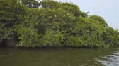 passar : Dense thicket of mangrove trees. growing in the shallow waters along a small river delta near Hikkaduwa. Sri Lanka. 4k stock footage Stock Footage