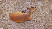 srna : Mature. solitary. female deer with red fur. resting on the dry ground in her natural habitat. 4k stock footage