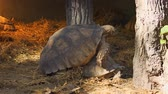 patterned : Pair of giant tortoises in their habitat enclosure. 4k video Stock Footage
