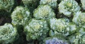 creme : Several specimens of white and green. ornamental kale. growing in neat rows in a private garden. DCI 4k video
