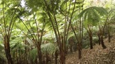 esinti : Exotic. tropical tree ferns. with leaves and fronds fluttering in a breeze. growing in a rainforest wilderness area in Thailand. Ultra HD 4k video Stok Video
