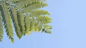 eğreltiotu : Leaves and fronds of a tree fern sway and flutter in a breeze against the sky. in this Thailand jungle wilderness.