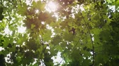 camada : Sunshine filtering between overlapping layers of summer maple elaves. from their branches overhead. Ultra HD stock footage Stock Footage
