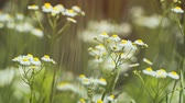 esinti : Clustered. white blossoms with yellow centers of wild. Erigeron wildflowers. swaying in a gentle breeze in their natural environment. UltraHD 4k video Stok Video