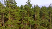 спуск : Slow descent alongside a dense thicket of young pine trees in this remote wilderness area. from a drone perspective. Stock footage 4k