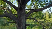 ragged : Rough bark and ragged. broken branches of an oak tree. standing near the edge of a meadow in the early morning. Stock footage 4k Stock Footage