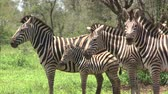 whiskers : Group of Burchells Zebra. South Africa, Kruger National Park.