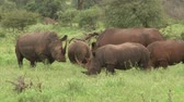 whiskers : White rhinoceros family is grazing in a bush. South Africa, Kruger National Park.