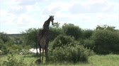 żyrafa : Watching Giraffe. South Africa, Kruger National Park. Wideo