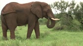whiskers : Grazing elephant in the bush. South Africa, Kruger National Park. Stock Footage