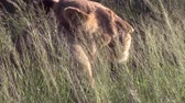 whiskers : Female Lion in the bush grass. South Africa, Kruger National Park. Stock Footage