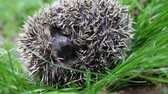 scaring : Scaring curled hedgehog. wsound Stock Footage