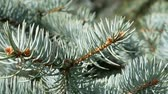 Branch of blue spruce in bright sunlight in springtime, macro panorama