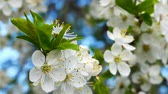 ameixa : Blossoming of Myrobalan plum or Prunus cerasifera in Latin, macro panorama in windy weather Stock Footage