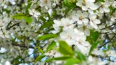 movable : Blossoming of Myrobalan plum or Prunus cerasifera in Latin, panorama close-up in windy weather