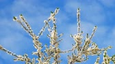 ameixa : Blossoming top branches of Myrobalan plum or Prunus cerasifera in Latin, panorama in spring windy weather on the blue sky background Stock Footage