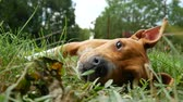 лежа : A beautiful american staffordshire terrier resting on the grass.