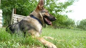 лежа : A beautiful german shepherd dog resting on the grass.