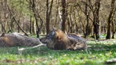 cão de raça pura : A beautiful european gray wolf resting and sleeping on the grass on a sunny day