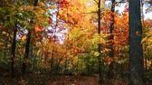 Beautiful woods with Autumn foliage in park. Stock Footage