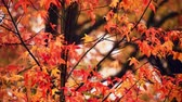 Autumn foliage closeup panorama view with beautiful colors. 무비클립