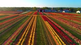 fazendas : Aerial view of turlip farm at sunrise with colorful flowers and houses