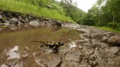 tigrinum : salamander in a puddle after a rain in a mountain forest