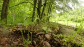 tigrinum : Salamander summer in the mountain forests of the Carpathians