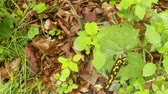 tigrinum : salamander crawling on a leaf, top view Stock Footage