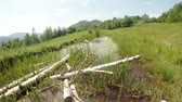 adder : old dead birch dry in a mountain pond and dragonfly Stock Footage